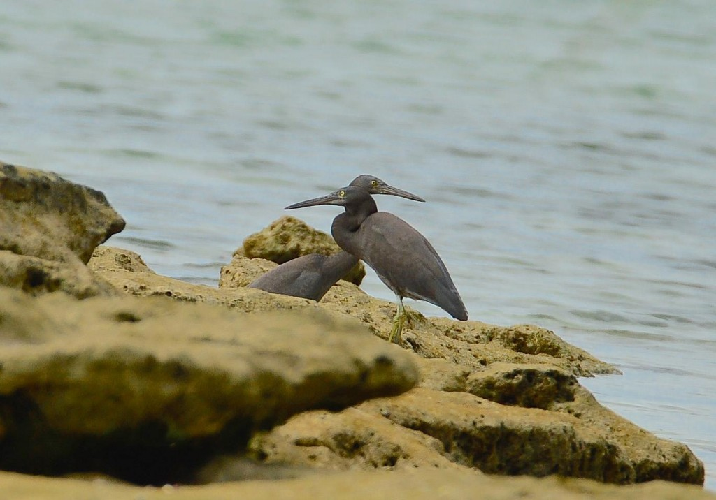 Eastern Reef Egrets in a vigilant stance, watching over each other's blind side