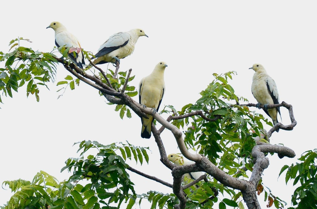 A flock of Pied Imperial Pigeon perched on their favorite tree. Flock in the island can be as much as 30 to 40 birds in a single tree.