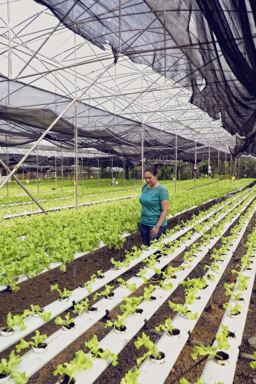 Yoki's Farm's lettuce are grown using a method called hydroponic planting