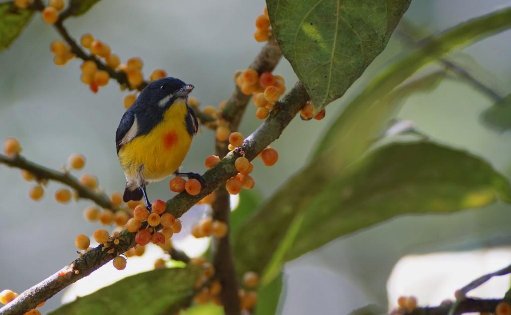 Palawan flowerpecker