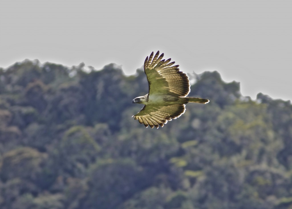 Mt. Kitanglad is home to this majestic bird specie —The Philippine Eagle