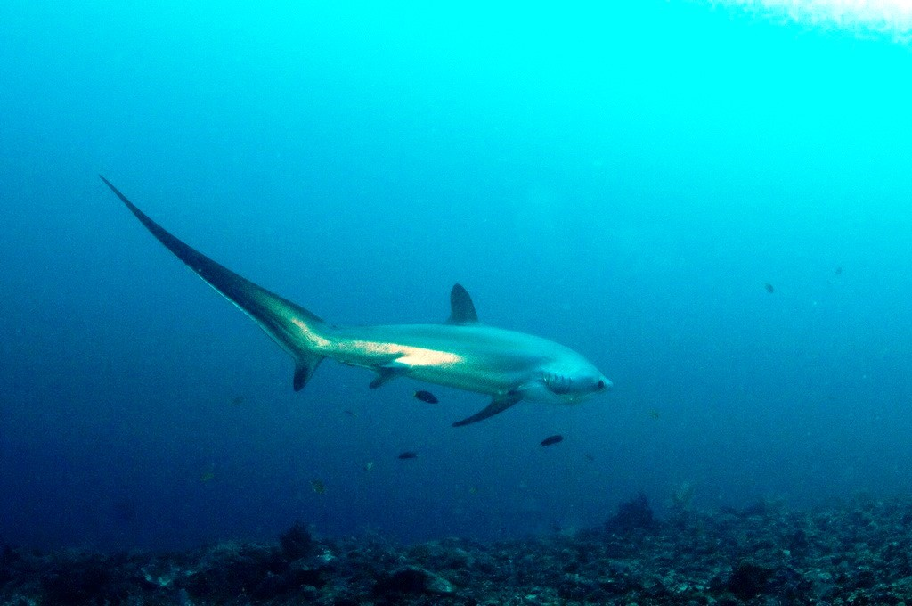 Malapascua's Monad Shoal is the only documented dive site in the world where thresher sharks can be seen almost on a daily basis, in depths suitable for recreational diving