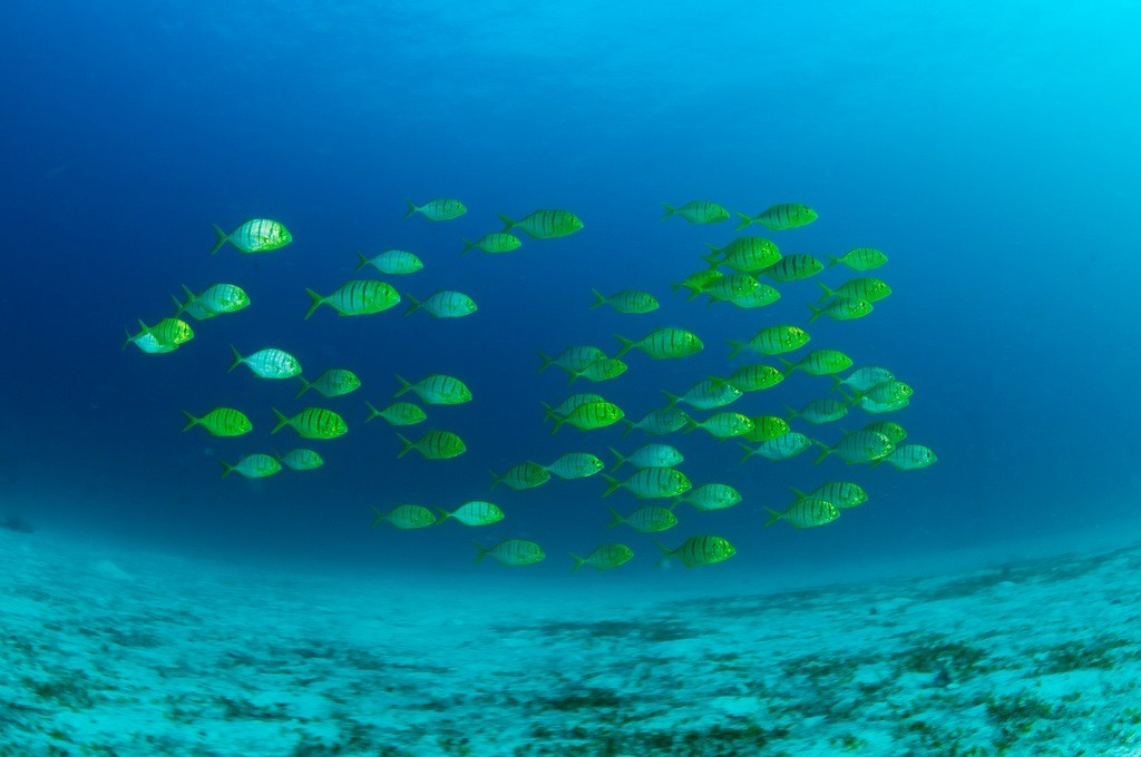 A school of fish brightens up the Malapascua waters. Photo by Gutsy Tuason