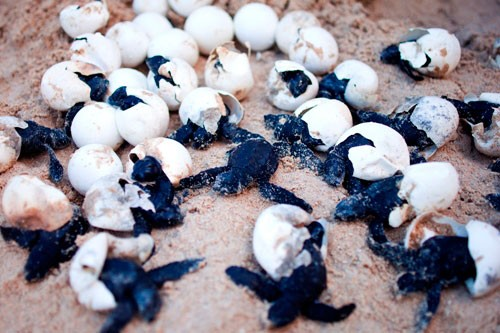 Newly hatched turtle eggs, by Mon Corpuz. Pinched from secretparadiseresort.com