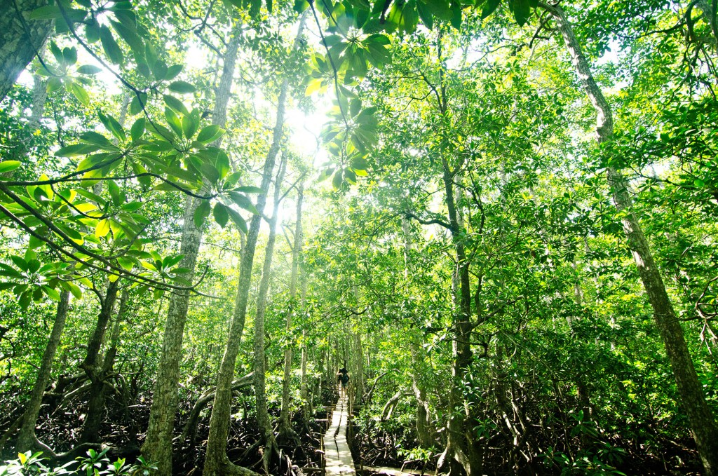 To reach the Miyapi tree, you will have to trek on these planks through a mangrove forest