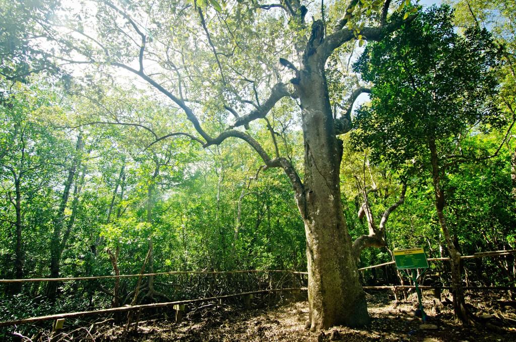 The Miyapi tree
