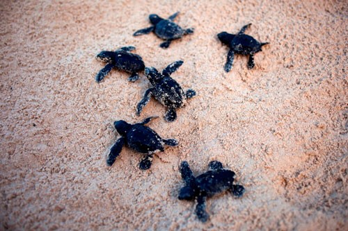 Baby Turtles at Secret Paradise Resort & Turtle Sanctuary, by Mon Corpuz. Pinched from secretparadiseresort.com