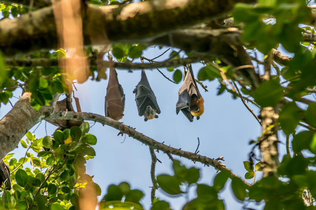 The Golden Crowned Flying Foxes, endemic to Philippine forests. Photo by Will Yates, courtesy of the FFF